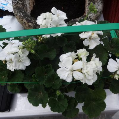 jardinage avril17 007
