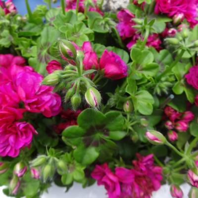 jardinage avril17 008