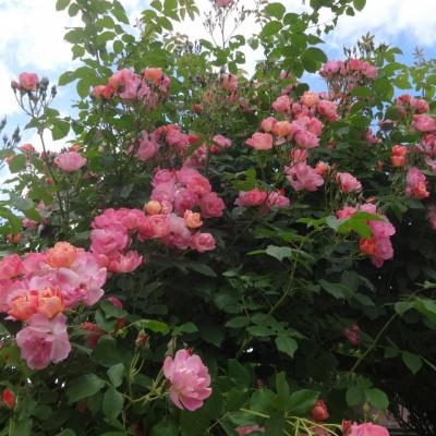 Roseraie de Pithiviers