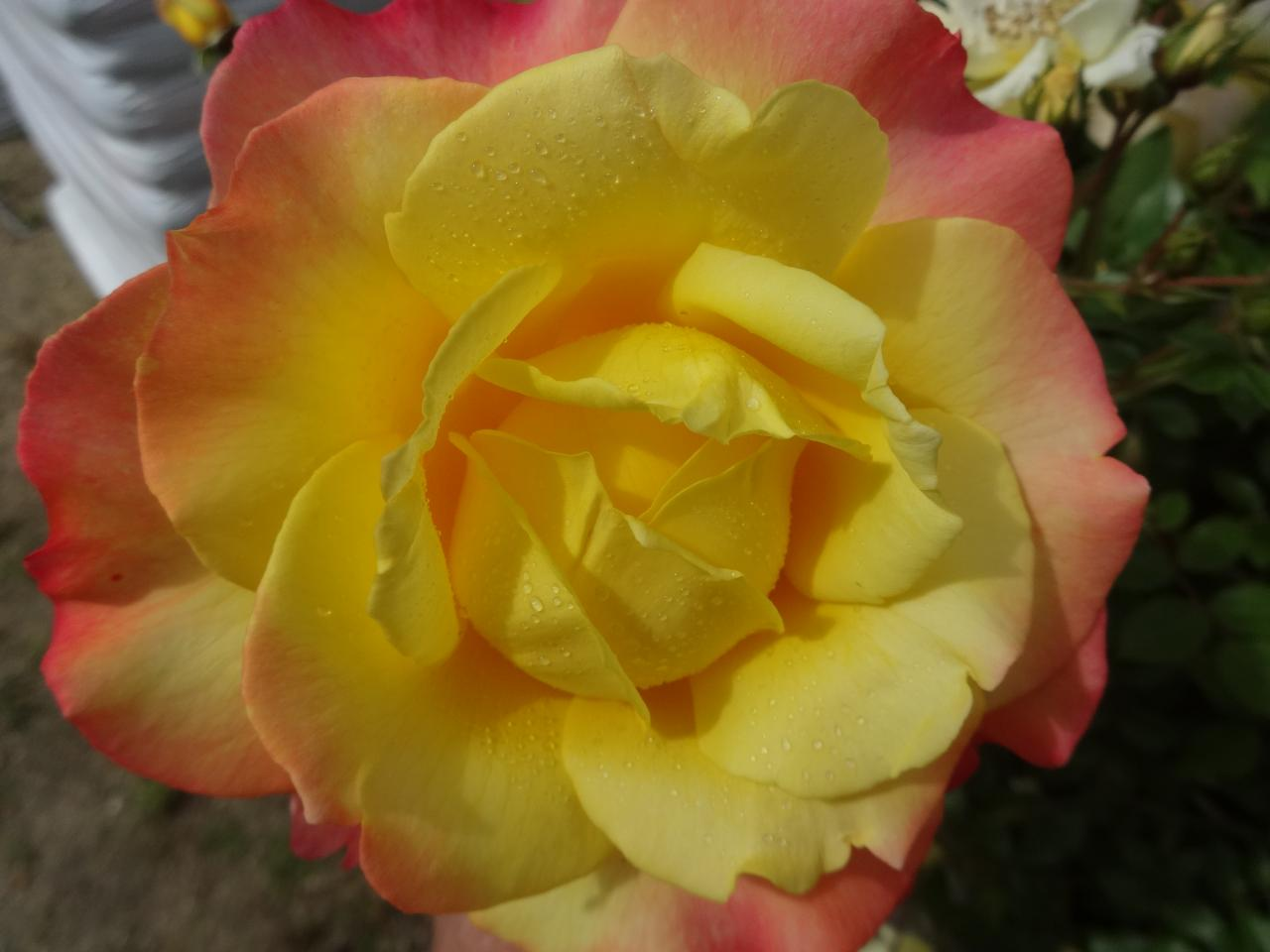 roseraie juin 2015 010